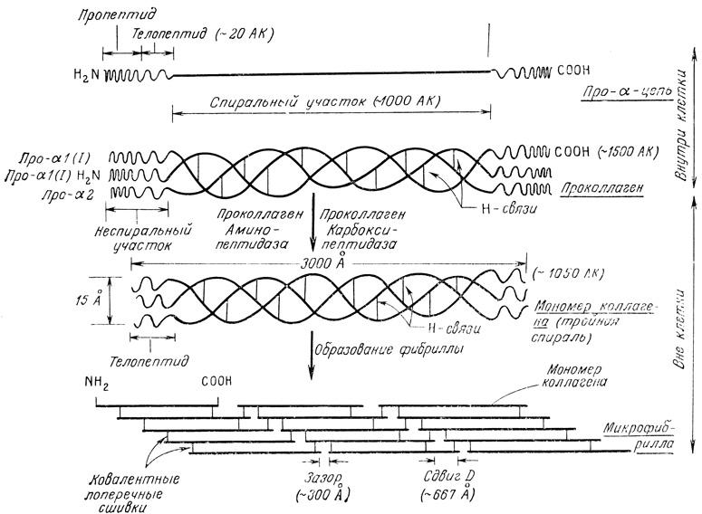 Биосинтез коллагена.